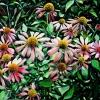 pink-susans-oil-on-canvas-16x20in-jessica-siemens-2013s