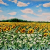 sunflower-field-watercolor-18x24inches-jessica-siemens-2013s